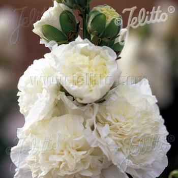 ALCEA rosea Chater's Double blanc