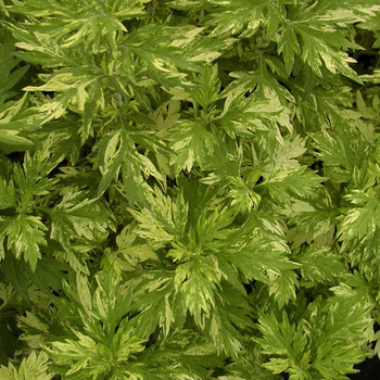 ARTEMISIA vulgaris 'Cragg-Barber Eye'