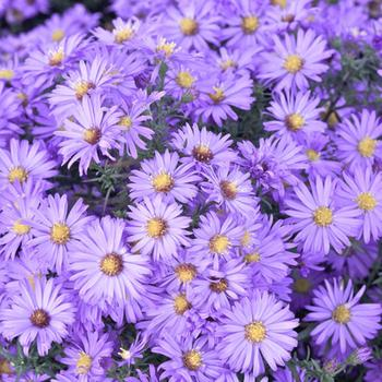 ASTER 'Lady in Blue' (Dumosus Group)