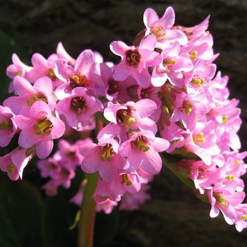 BERGENIA purpurascens