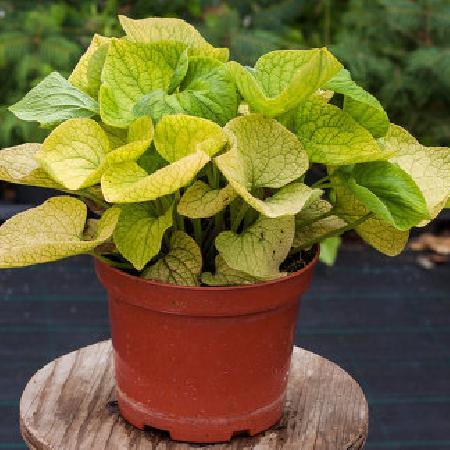 BRUNNERA macrophylla 'Diane's Gold' ®