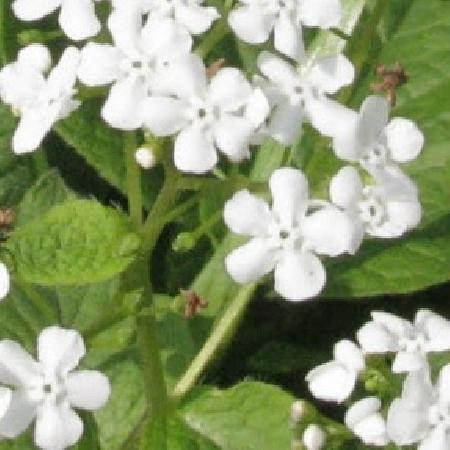 BRUNNERA macrophylla 'Marley's White'