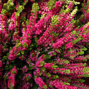 CALLUNA vulgaris 'Dart's Beauty'