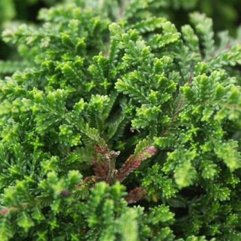 CALLUNA vulgaris 'Mrs Ronald Gray'