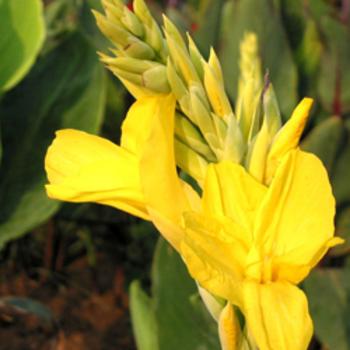 CANNA 'Yellow King Humbert'