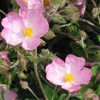 CISTUS lenis 'Grayswood Pink' (C. parviflorus)