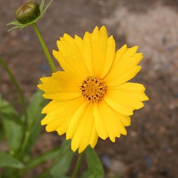 COREOPSIS grandiflora 'Etoile d'Or'