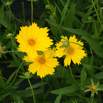 COREOPSIS grandiflora 'Mayfield Giant'