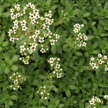 CRASSULA exilis (sedifolia)