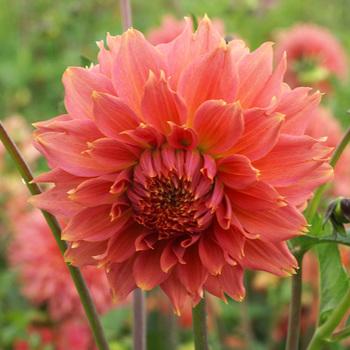 DAHLIA 'Orange Fubuki'
