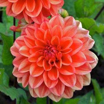 DAHLIA 'Orange Nugget'