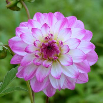 DAHLIA 'Pink Attraction'