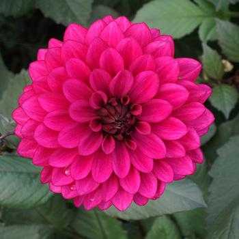 DAHLIA 'Purple Flame'®