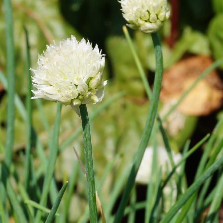 ALLIUM schoenoprasum 'White One'