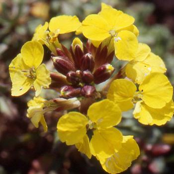 ERYSIMUM helveticum (pumilum)