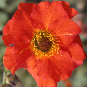 GEUM coccineum 'Red Wings'