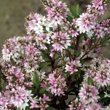 HEBE 'Pink Paradise' ®