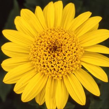 HELIANTHUS decapetalus 'Capenoch Star'