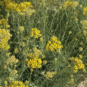 HELICHRYSUM italicum ssp. serotinum