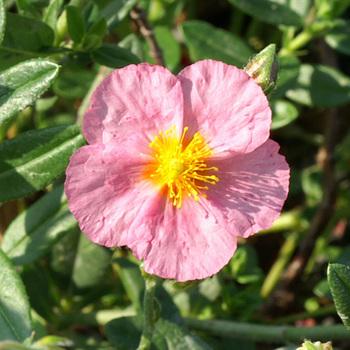 HELIANTHEMUM 'Lawrenson's Pink'