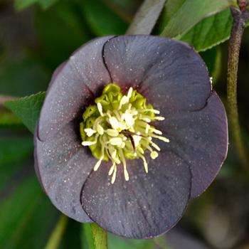 HELLEBORUS orientalis 'Wilgenbroek Slaty Blue'
