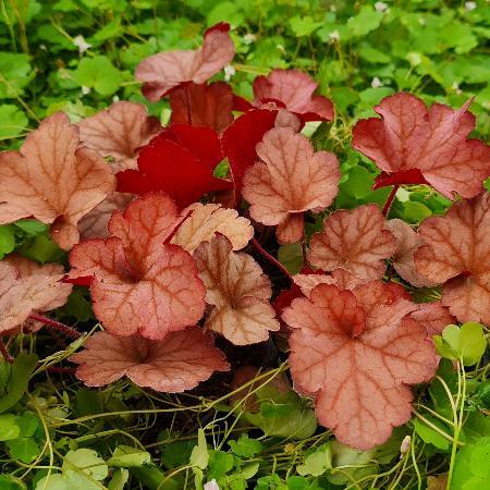 HEUCHERA 'Coralberry' ®