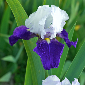 IRIS b-e 'Night Edition'