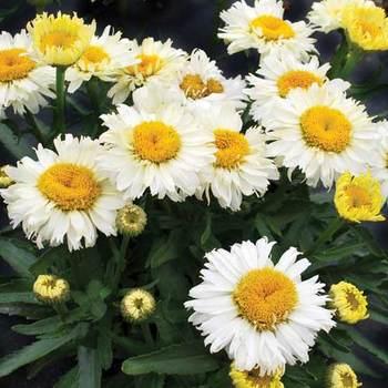 LEUCANTHEMUM superbum 'Bridal bouquet' ®