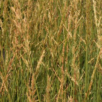 MOLINIA arundinacea 'Windspiel'