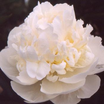 PAEONIA 'Blush Queen'