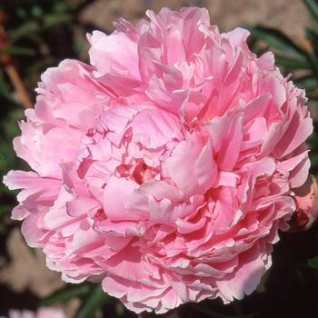 PAEONIA 'Sarah Bernhardt'
