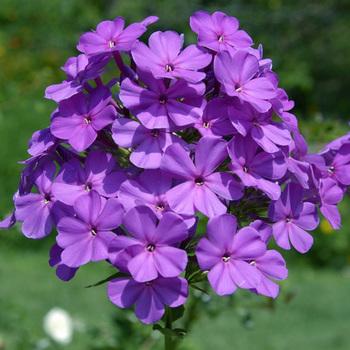 PHLOX 'Amethyst' (Paniculata Group)