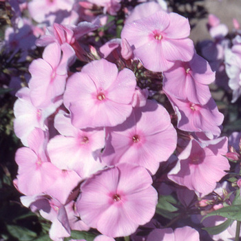 PHLOX 'Elisabeth Arden' (Paniculata Group)