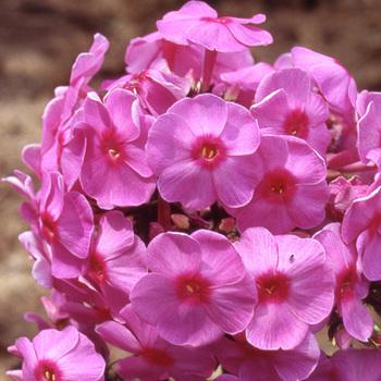 PHLOX 'Eva Cullum' (Paniculata Group)