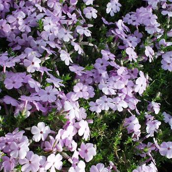 PHLOX 'Lilac Cloud' (Douglasii Group)