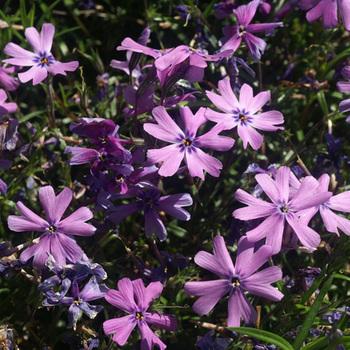 PHLOX 'Purple Beauty' (Subulata Group)