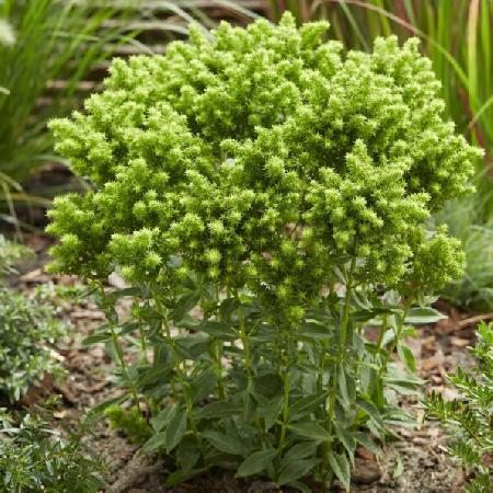 PHLOX 'Green Lion' ® (Paniculata Group)