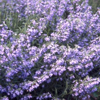 SALVIA azurea 'Grandiflora'