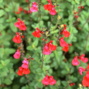 SALVIA microphylla (grahamii)