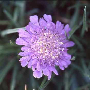 SCABIOSA graminifolia