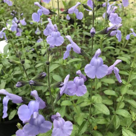SALVIA microphylla 'Delice Aquamarine' ®