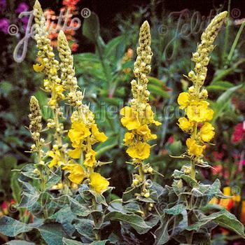 VERBASCUM hybridum 'Wega'