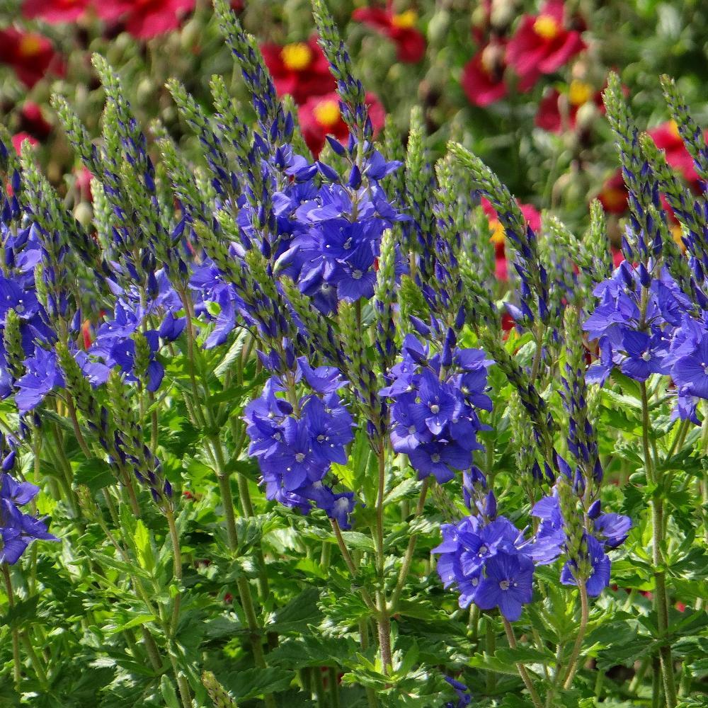 VERONICA austriaca 'Royal Blue' (V. teucrium)