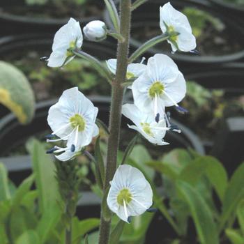 VERONICA gentianoides