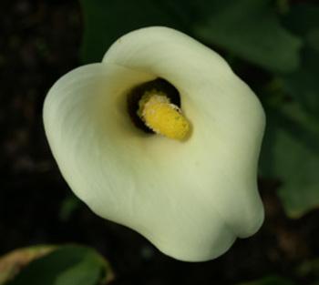 ZANTEDESCHIA 'Black Eyed Beauty'